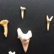 Coleccionismo de fósiles: LOTE DE 5 EJEMPLARES DE DIENTES DE TIBURON FOSIL (UNO DE ELLOS ES DE UN ONCHOPRISTIS TIBURON SIERRA). Lote 194570067