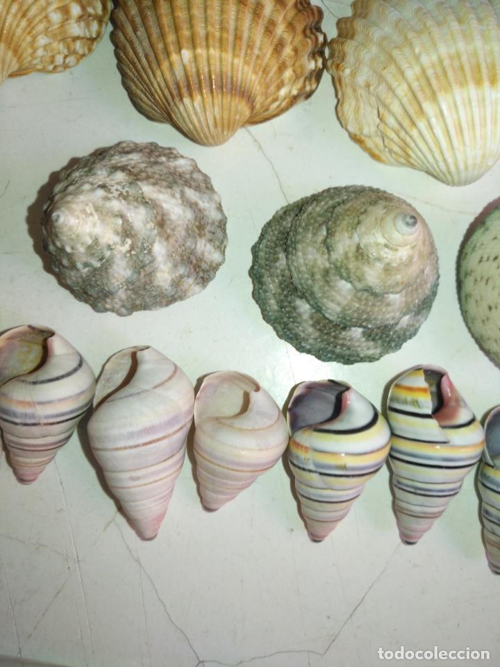 Coleccionismo de fósiles: MALACOLOGIA - GRAN COLECCION CIENTOS DE PIEAS, CONCHA CARACOLA MARINA MAR - ACUARIO PECERA TERRARIO - Foto 3 - 194763112