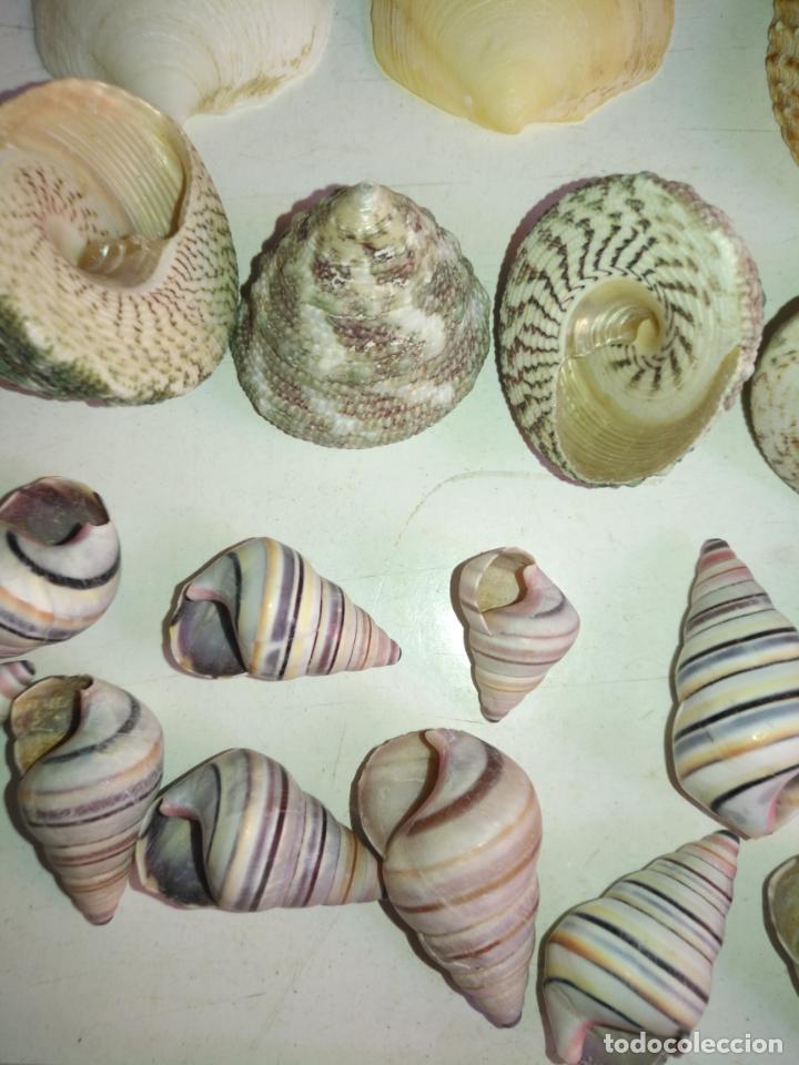 Coleccionismo de fósiles: MALACOLOGIA - GRAN COLECCION CIENTOS DE PIEAS, CONCHA CARACOLA MARINA MAR - ACUARIO PECERA TERRARIO - Foto 5 - 194763112