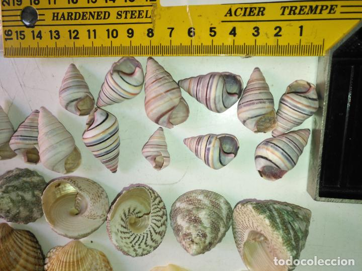 Coleccionismo de fósiles: MALACOLOGIA - GRAN COLECCION CIENTOS DE PIEAS, CONCHA CARACOLA MARINA MAR - ACUARIO PECERA TERRARIO - Foto 15 - 194763112