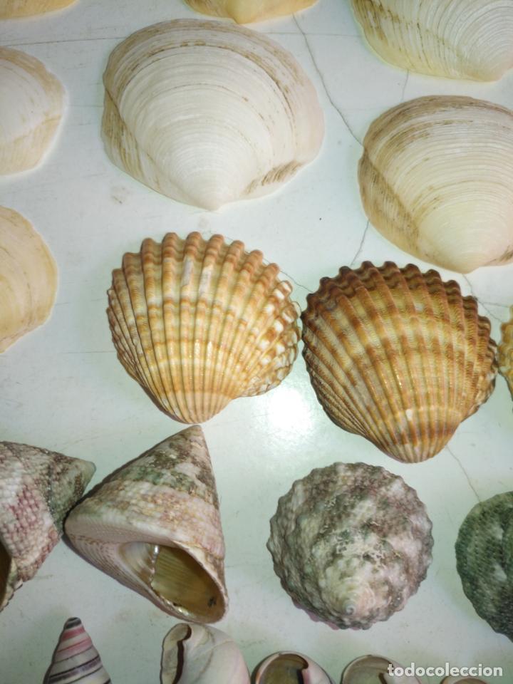 Coleccionismo de fósiles: MALACOLOGIA - GRAN COLECCION CIENTOS DE PIEAS, CONCHA CARACOLA MARINA MAR - ACUARIO PECERA TERRARIO - Foto 19 - 194763112