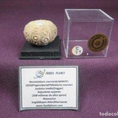 Coleccionismo de fósiles: NENOTICIDARIS MERCIERI (LAMBERT,1933) PLEGIOCIDARIS (PHILICIDARIS) MERCIERI (LAMBERT,1933)- E73,. Lote 194943882