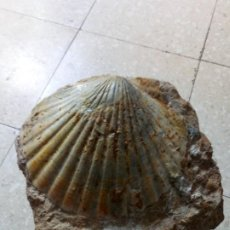 Coleccionismo de fósiles: FLABELLIPECTEN SOLARION. Lote 195001803