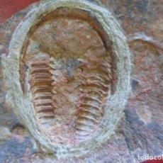 Coleccionismo de fósiles: TRILOBITE.. Lote 195109292