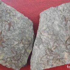 Coleccionismo de fósiles: PLACA DE FÓSILES DE ESTRELLAS DE MAR.. Lote 195144960