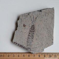 Coleccionismo de fósiles: EPHEMEROPSIS TRISETALIS EICHWALD. GRAN TAMAÑO. INSECTO FÓSIL.. Lote 195173657