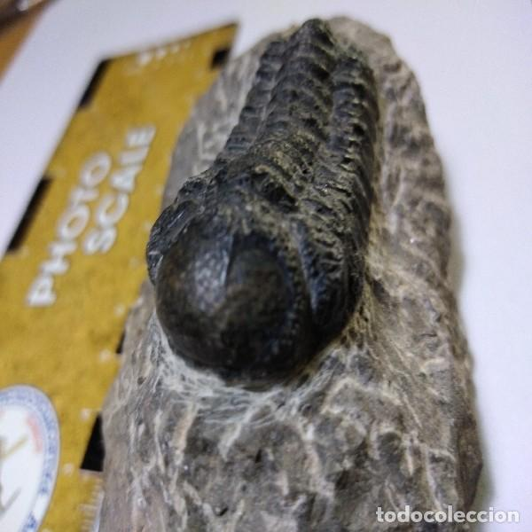 FOSIL DE TRILOBITES MOROCOPS OVATA. DEVONICO. MARRUECOS. (Coleccionismo - Fósiles)