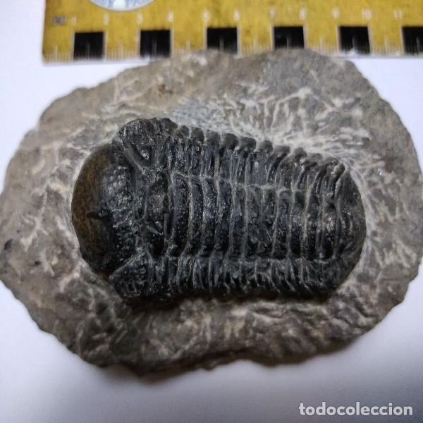 Coleccionismo de fósiles: FOSIL DE TRILOBITES MOROCOPS OVATA. DEVONICO. MARRUECOS. - Foto 3 - 195363587