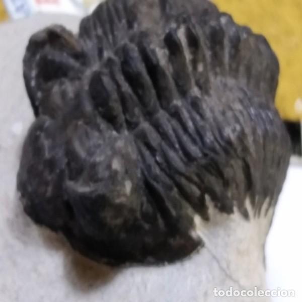 Coleccionismo de fósiles: FOSIL DE TRILOBITES COLTRANEIA EFFELESA. DEVONICO. MARRUECOS. - Foto 4 - 195363817