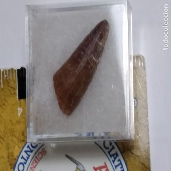 Coleccionismo de fósiles: FOSIL DE DIENTE DE SPINOSAURUS AEGYPTICUS . CRETACICO. MARRUECOS. - Foto 2 - 195371830