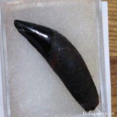 Coleccionismo de fósiles: FOSIL DE DIENTE DE CASTOR PROCYON FOTOR . PLEISTOCENO. USA.. Lote 195372153