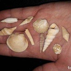 Coleccionismo de fósiles: FOSIL- LOTE FOSILES DEL MIOCENO FRANCÉS . Lote 195420507