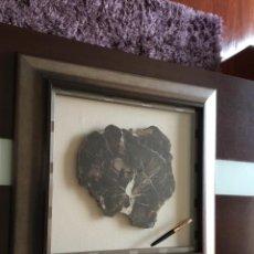 Coleccionismo de fósiles: FORMIDABLE FOSIL XILOPALO ?ENMARCADO EXCELENTE . Lote 195614416