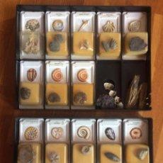 Coleccionismo de fósiles: COLECCION DE FÓSILES. Lote 197190651