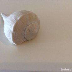 Coleccionismo de fósiles: CARACOLA. Lote 199042921