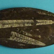 Coleccionismo de fósiles: PIEDRA PULIDA CON ORTHOCERAS DEL DEVÓNICO DE MARRUECOS. LONGITUD 19,5 CM. Lote 201263546