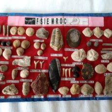 Coleccionismo de fósiles: COLECCION DE 57 FOSILES DE MARRUECOS. Lote 201983761