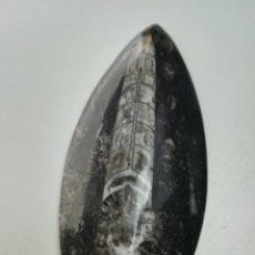 Coleccionismo de fósiles: FÓSIL ORTHOCERAS. Lote 202260407