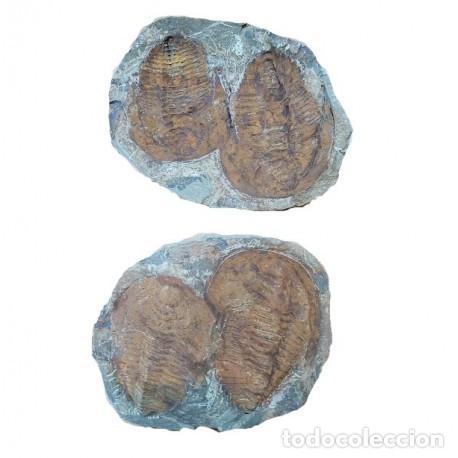 GIGANTESCO FÓSIL DE UN TRILOBITE ANDALUSIANA, , 470 MM DE AÑOS. (Coleccionismo - Fósiles)