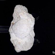 Coleccionismo de fósiles: FOSIL- BIVALVO AEQUIPECTEN OPERCULARIS. Lote 204646356