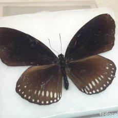 Coleccionismo de fósiles: CAJA EXPOSITORA CON MARIPOSA DISECADO 9X8.5X2 CM. Lote 205716052