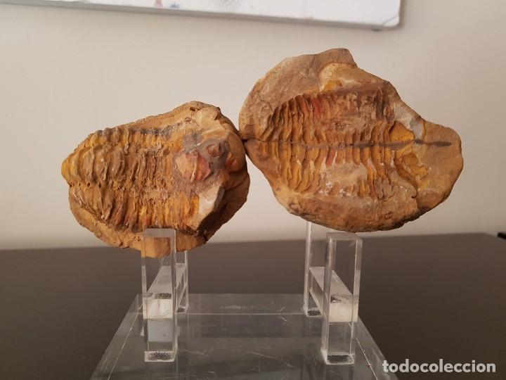 TRILOBITES FÓSIL (Coleccionismo - Fósiles)