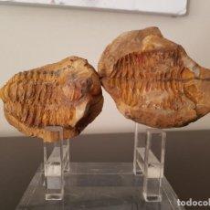 Coleccionismo de fósiles: TRILOBITES FÓSIL. Lote 206212481