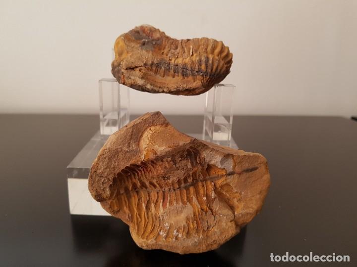 Coleccionismo de fósiles: TRILOBITES FÓSIL - Foto 5 - 206212481