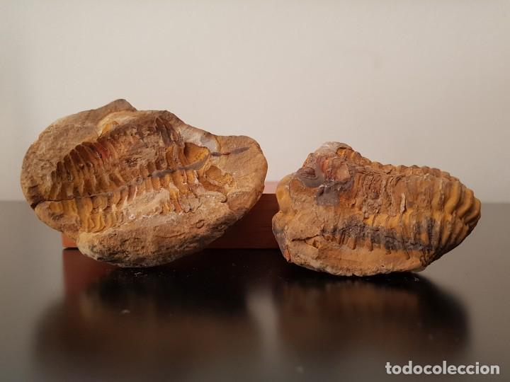 Coleccionismo de fósiles: TRILOBITES FÓSIL - Foto 8 - 206212481