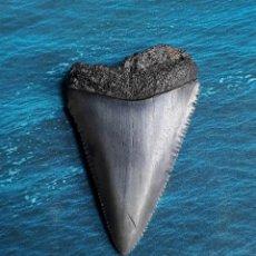 Coleccionismo de fósiles: DIENTE FÓSIL DE TIBURÓN BLANCO. 4,80 CM. PESCA. BUCEO. CAZA.. Lote 207077730