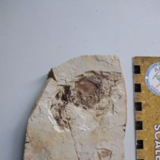 Coleccionismo de fósiles: GAMBA FOSIL CRICOIDOSCELUS AETHUS. CRETACICO. CHINA.. Lote 207171497