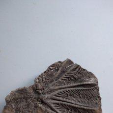 Coleccionismo de fósiles: CRINOIDES FOSIL TRAUMATOCRINUS HSUIXI. TRIASICO. CHINA.. Lote 207178345