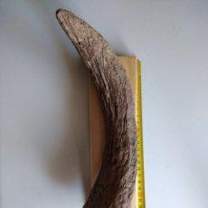 Coleccionismo de fósiles: CUERNO FOSIL DE BISON PRISCUS DEL PLEISTOCENO. HUNGRÍA.. Lote 207179141
