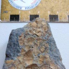 Coleccionismo de fósiles: FOSIL DE ORTHYS DEL ORDOVICICO DEL SUR DE EUROPA.. Lote 207188316