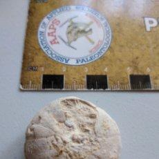Coleccionismo de fósiles: FOSIL DE ERIZO HETERODIADEMA LIBYCUM. CRETACICO. MARRUECOS.. Lote 207188707