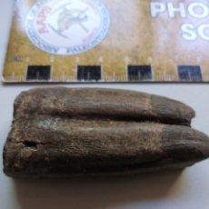 Collectionnisme de fossiles: DIENTE FOSIL DE HERBÍVORO. PALEOCENO. CHINA.. Lote 207267536