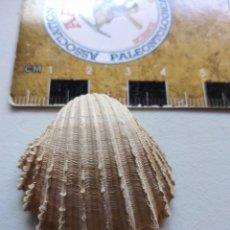 Coleccionismo de fósiles: BIVALVO FOSIL ACANTHOCARDIA PAUCICOSTATA. PLIOCENO. EUROPA.. Lote 207373502
