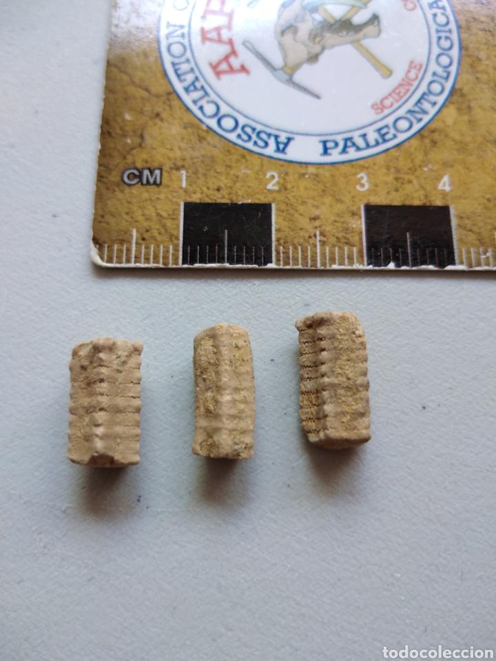 Coleccionismo de fósiles: CRINOIDES FÓSILES ISOCRINUS. JURÁSICO. EUROPA. - Foto 2 - 207378946