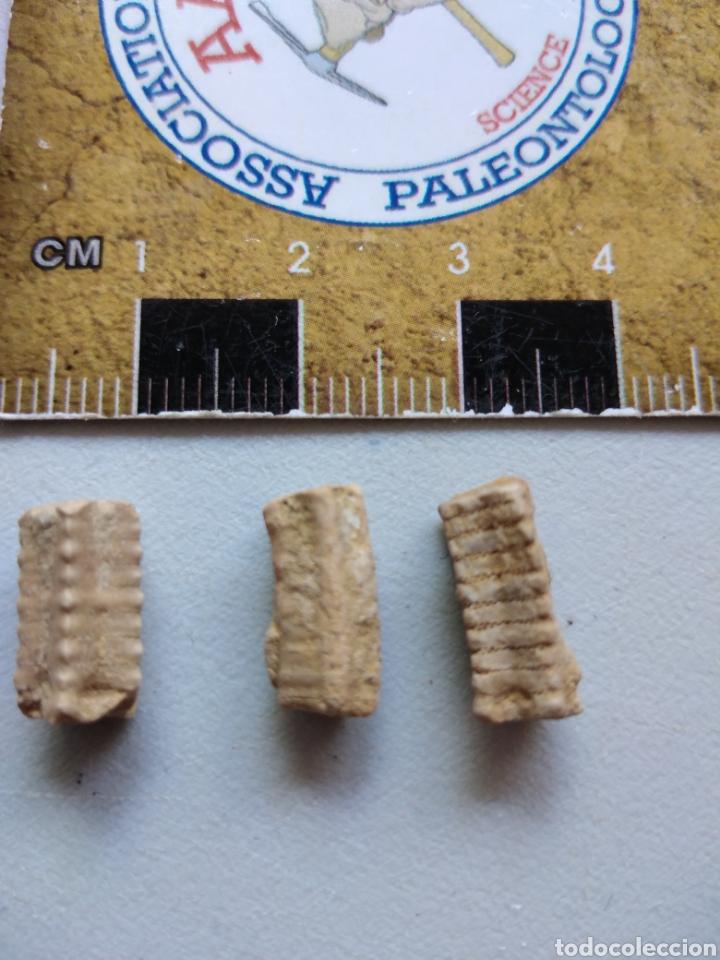 CRINOIDES FÓSILES ISOCRINUS. JURÁSICO. EUROPA. (Coleccionismo - Fósiles)