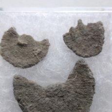 Coleccionismo de fósiles: FOSIL DIPLOTECNIUM. EOCENO. EUROPA.. Lote 207497156