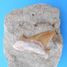 Coleccionismo de fósiles: DIENTE DE TIBURON, ISURUS EN ROCA ENCAJANTE - MARRUECOS. FOSIL ESCUALO. FB. Lote 207830943