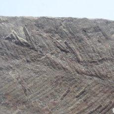 Colecionismo de fósseis: CRINOIDES FOSILES. ORDOVICICO. MARRUECOS.. Lote 208367101