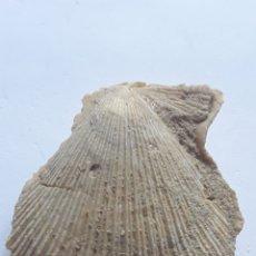 Coleccionismo de fósiles: BIVALVO FOSIL CHLAMYS MULTISTRIATA. PLIOCENO. EUROPA.. Lote 208399091