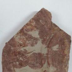 Coleccionismo de fósiles: CRUCIANAS. HUELLAS DE TRILOBITES. FÓSIL MONTES DE TOLEDO. Lote 208960783