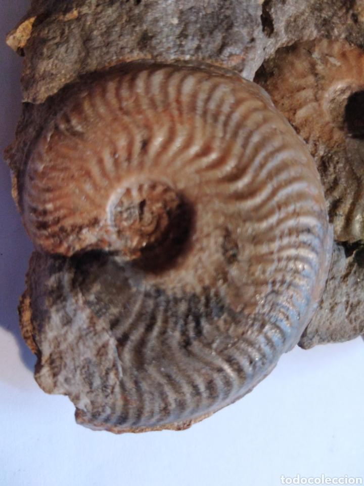 Coleccionismo de fósiles: AMMONITES FOSIL PLEYDEILLA AALENSIS. JURÁSICO. EUROPA. - Foto 2 - 210948889