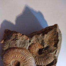 Coleccionismo de fósiles: AMMONITES FOSIL PLEYDEILLA AALENSIS. JURÁSICO. EUROPA.. Lote 210948889