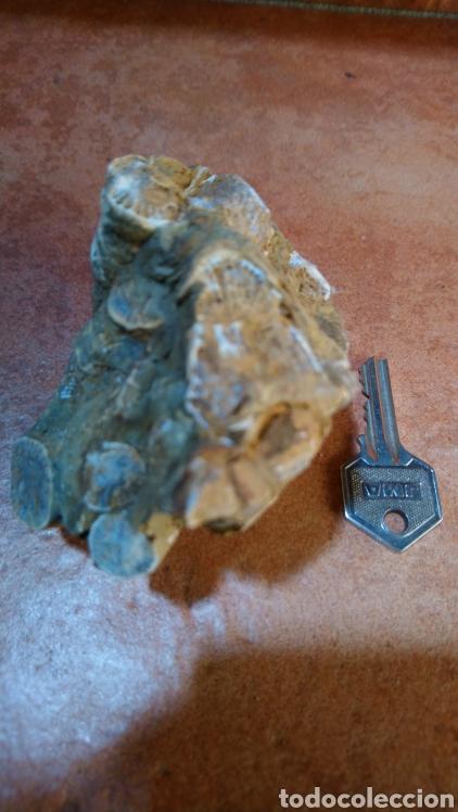 Coleccionismo de fósiles: Fósil - Foto 2 - 211575475