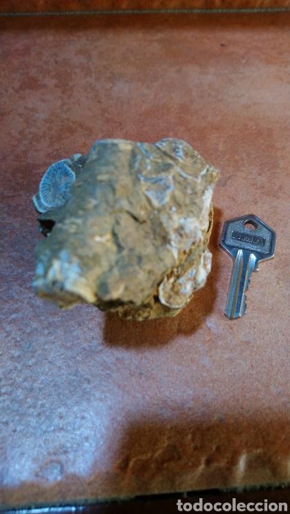 Coleccionismo de fósiles: Fósil - Foto 4 - 211575475