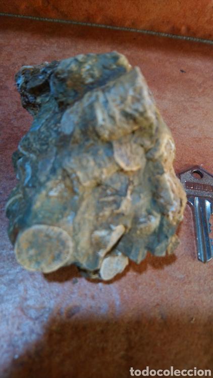 Coleccionismo de fósiles: Fósil - Foto 5 - 211575475