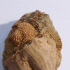 Colecionismo de fósseis: BALANUS Y RETEPORA FOSIL. PLIOCENO. EUROPA.. Lote 211704606